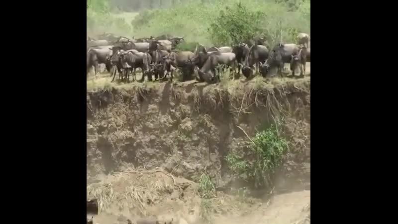 Великая миграция Ежегодная миграция 1 5 миллиона антилоп гну с равнин Серенгети на пастбища Масаи Мара