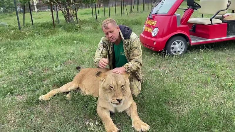 Львица Мама- Чоли рада что в саванну выпустили взрослых львов !