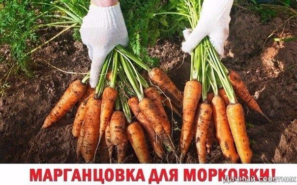 МАРГАНЦОВКА ДЛЯ МОРКОВКИ!