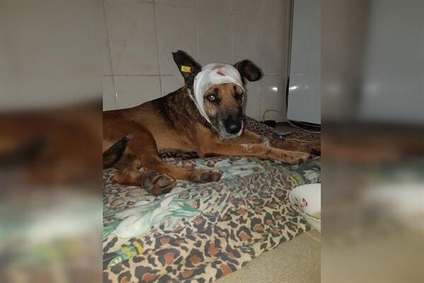 Пес, которого в Горловке били ножом и выбросили с 6 этажа, пошел на поправку Напомним предысторию случившегося. Во дворе дома по проспекту Победы, 81 жил чипированный пес. Его подкармливали
