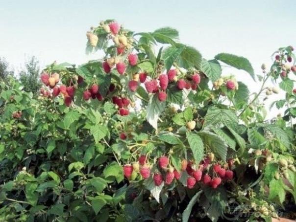 ПРАВИЛЬНАЯ ОБРЕЗКА МАЛИНЫ Сохраните, чтобы не потерять!Чтобы получать богатый урожай, при выращивании малины, замалиной нужно поухаживать. Да и место, занимаемое ею на участке, обязывает