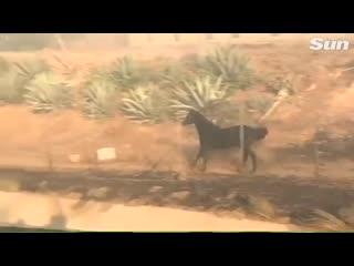 В Калифорнии лошадь вернулась в огонь, чтобы спасти жеребенка