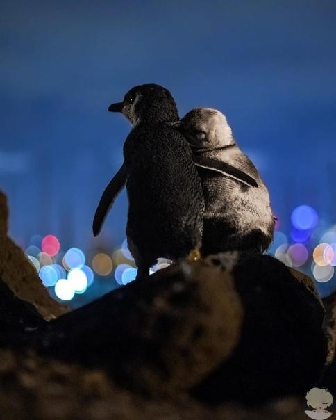 Видео дня: пара пингвинов обнявшись любуется вечерним Мельбурном