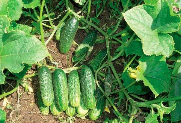 Какие сорта огурцов с длительным плодоношением посажу на следующий год.
