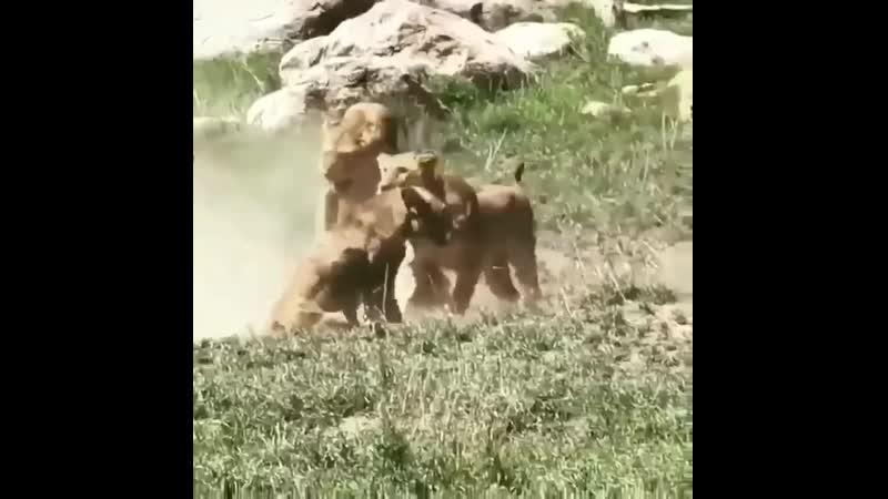 Целый прайд напал на одинокую львицу
