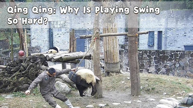 Qing Qing: Why Is Playing Swing So Hard?   iPanda