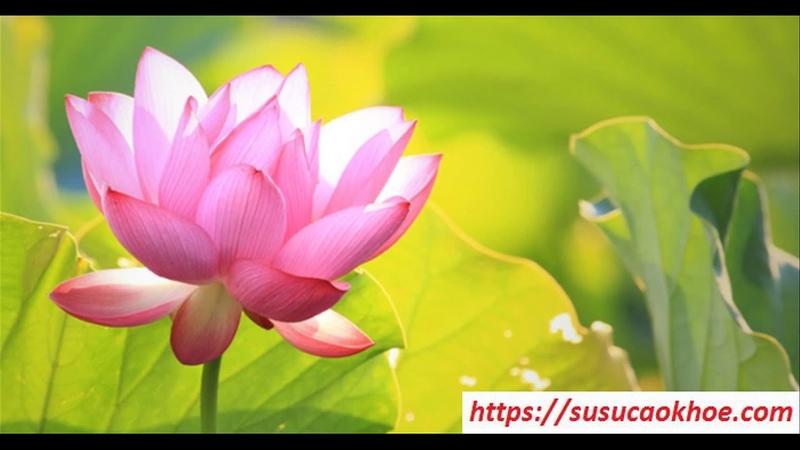 Giải mã giấc mơ thấy hoa sen là điềm gì, đánh con gì, tốt hay xấu - susucaokhoe