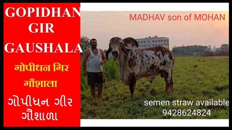 Gujarat no 1 Super Gir bull name Mohan bull semen available contact 9033677700