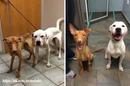 Любовь и забота творят чудеса — два истощенных голодающих пса за несколько месяцев пришли…