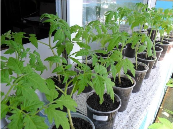 Рассада томатов на заварке, рабочий метод