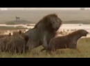 Лев против гиен. Группа Выжить Любой Ценой