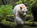 Примерно 10% популяции кермодского медведя имеют белый или кремовый цвет шерсти…