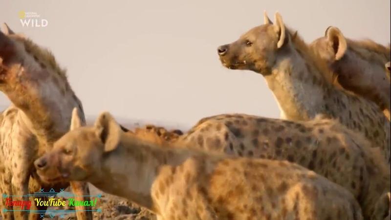 Гиены и другие животные дикой природы