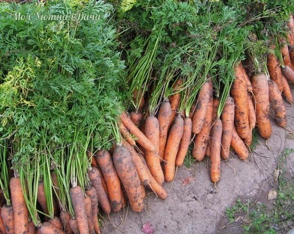 Лучшие предшественники для моркови  капуста, томаты, лук, огурцы, почву под которые хорошо заправляли органикой в прошлом году