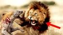 СТАЯ ГИЕН НАПАЛА НА ЛЬВА. КТО СИЛЬНЕЕ Лев против гиены!