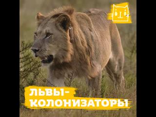 Одно из самых удачный переселений львов в истории восстановило популяцию царя зверей в Замбези