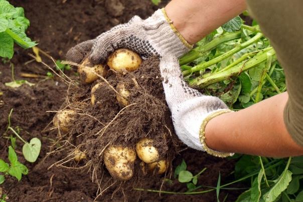 Что бы картофель не вырождался!