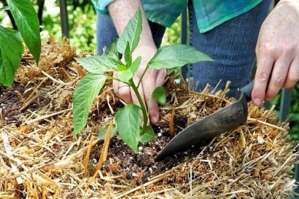 Подкормка перца после высадки в теплицу и грунт Перец один из тех овощей, которые встречаются на огородах чаще всего. Может показаться, что выращивать его не так легко. Независимо от того, где