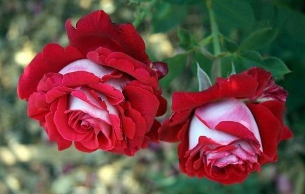 Двухцветная роза Осирия (Osiria) Роза Осирия отличается своей удивительной красотой, её бархатные лепестки окрашены бордовым цветом изнутри, а снаружи она предстает в серебристо-белом цвете и