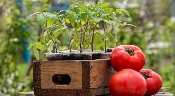 Как получить урожай помидоров, которым можно удивить всех